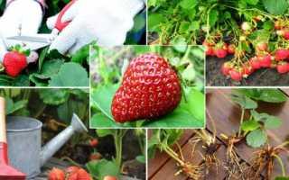 Уход за клубникой осенью, подкормки удобрениями