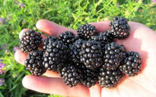 Ежевика Лохнесс — описание сорта, характеристика, выращивание, фото и отзывы