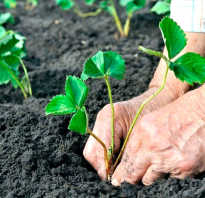 Подготовка почвы под клубнику при посадке осенью