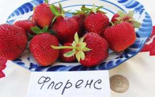 Земляника Флоренс: выращивание, описание сорта, фото и отзывы