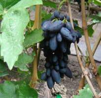 Виноград Академик: описание сорта, фото и отзывы садоводов