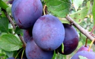 Слива Анна Шпет — описание сорта, фото и отзывы садовов