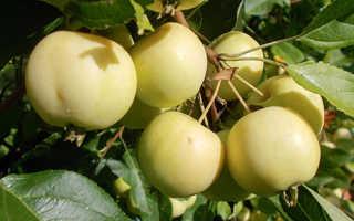 Яблоня Уральское наливное — описание сорта, фото, отзывы
