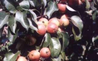Груша Веселинка — описание сорта, фото, отзывы садоводов