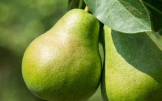 Груша Августовская роса — описание сорта, фото, отзывы садоводов