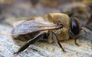 Кто такой трутень, его роль в жизни пчел