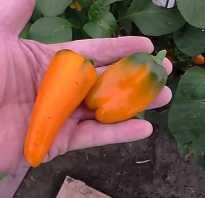 Перец Апельсин — описание сорта, фото, отзывы, посадка и уход