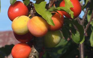 Скороплодные сорта сливы