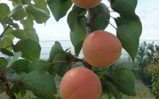 Выращивание абрикоса в Сибири