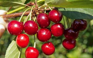 Лучшие сорта вишни для Подмосковья с фото и описанием