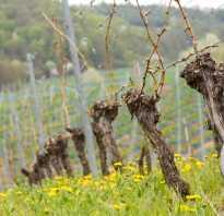 Сроки обработки винограда от болезней и вредителей