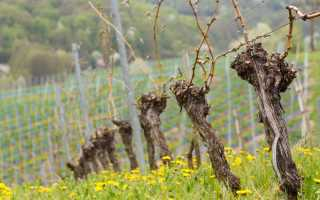 Чем брызгать виноград весной от болезней?