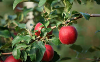 Яблоня Моди — описание сорта, фото, отзывы