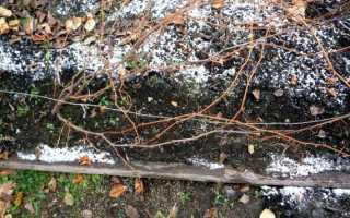 При какой температуре укрывают виноград осенью?