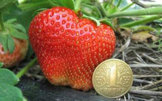 Клубника Чамора Туруси — описание сорта, фото и отзывы садоводов