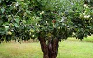 Яблоня Юнга — описание сорта, фото, отзывы