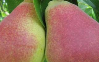 Груша Любимица Клаппа — описание сорта, фото, отзывы садоводов