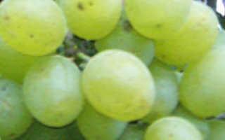 Виноград Подарок Запорожью: описание сорта, фото и отзывы садоводов