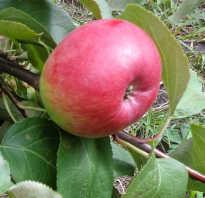 Яблоня Первоуральская — описание сорта, фото, отзывы