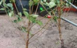 Как правильно посадить вишню — отвечаем на вопросы дачников