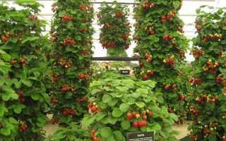 Вьющаяся клубника — выращивание своими руками