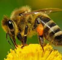 Почему, когда и как роятся пчелы. как остановить роение пчел, фото, видео