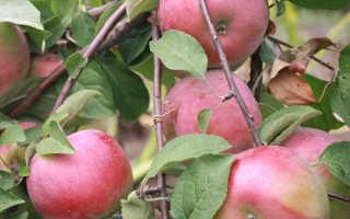 Яблоня Белорусское сладкое — описание сорта, фото, отзывы