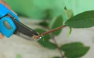 Как размножить жимолость съедобную черенками?
