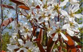 Слива Заречная ранняя — описание сорта, фото и отзывы садовов
