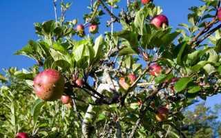 Как привить на сливу яблоню?