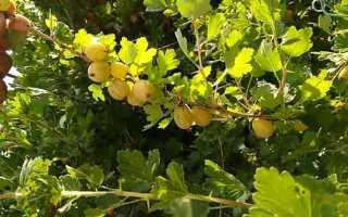 Крыжовник Медовый — описание сорта, фото и отзывы