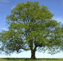 Ясень: виды, как выглядит, где растет, описание дерева