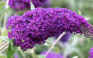 Будлея: тонкости выращивания королевы цветущих кустарников
