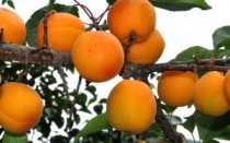 На абрикосе не распускаются почки — что делать?