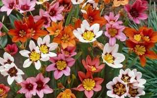 Выращивание спараксиса и уход за растением