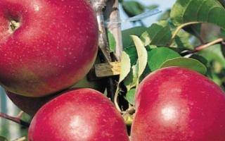 Как вырастить яблоню из семечка?