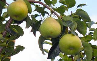 Груша Осенняя Яковлева — описание сорта, фото, отзывы садоводов