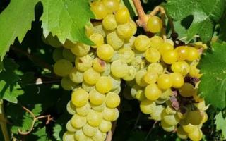 Виноград Дружба: описание сорта, фото и отзывы садоводов