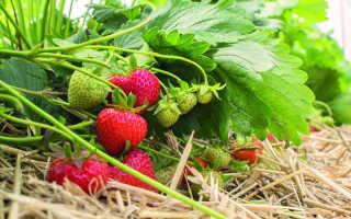 Земляника Эльсанта: выращивание, описание сорта, фото и отзывы