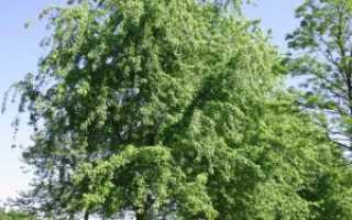 Клён серебристый: характеристика и особенности агротехники