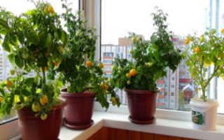Как вырастить помидоры на балконе в домашних условиях?