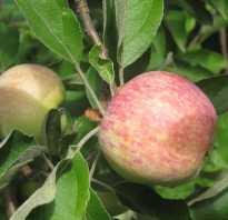 Яблоня Конфетная — описание сорта, фото, отзывы
