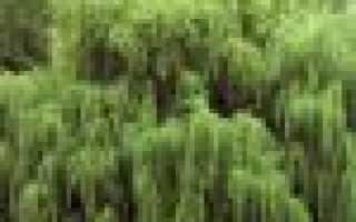 Описание и фото самых популярных видов ивы