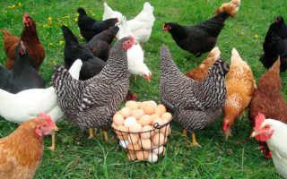 Куры-несушки: как выбрать и содержать птиц