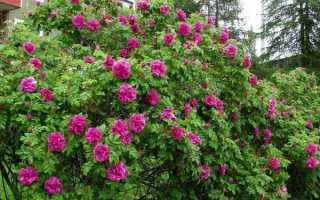Сорта морщинистой розы (шиповник) : названия и описание