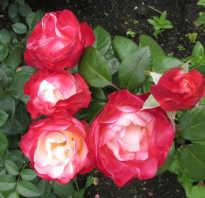 Роза ностальжи: характеристика и сортовые отличия