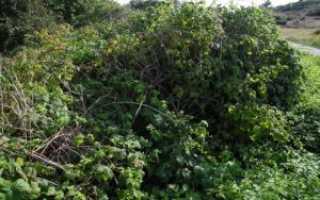 Правила посадки и ухода за высокоурожайной ежевикой гигант