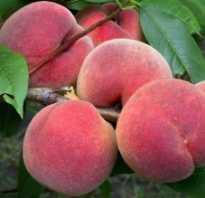 Как выглядят плоды персика?