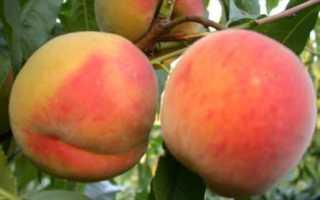 Лысые сорта персиков