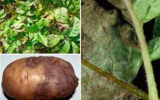 Фитофтора картофеля и борьба с ней